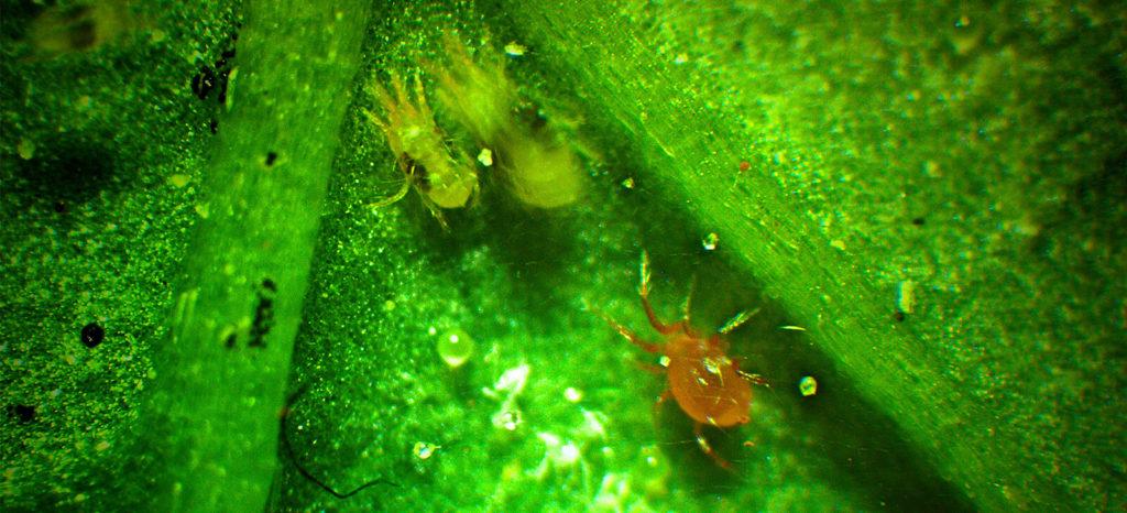 promip manejo integrado de pragas controle biologico acaros predadores tem eficiencia comprovada manejo biologico de pragas