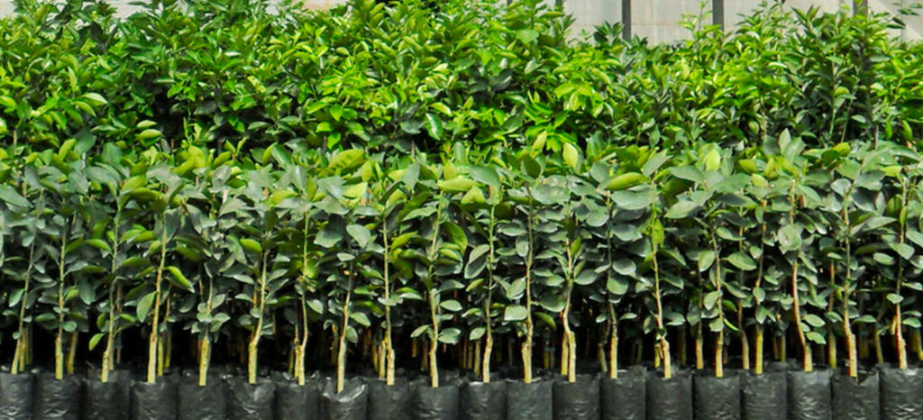 promip manejo integrado de pragas controle biologico encontro tecnico discute controle biologico viveiro de producao de mudas de citros