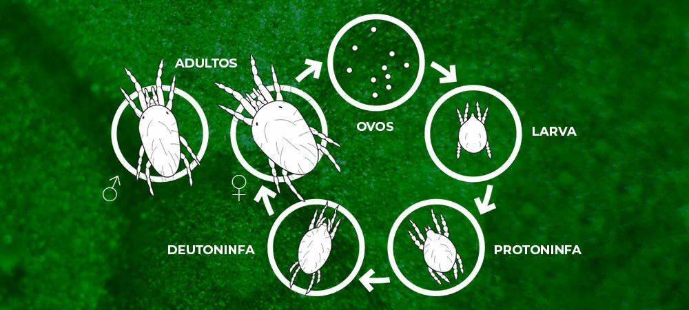 promip manejo integrado pragas controle biologico mip experience artigo acaros tetraniquideos ciclo
