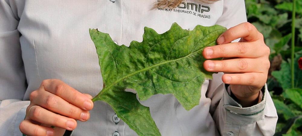 promip manejo integrado pragas controle biologico mip experience artigo acaros tetraniquideos sintoma
