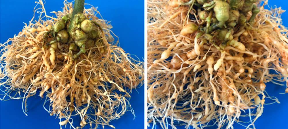 promip manejo integrado pragas controle biologico mip experience artigo nematoide raiz