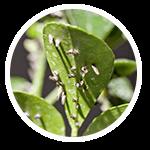 promip manejo integrado pragas controle biologico serviços insecta bolinha 1 mobile