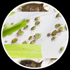 promip manejo integrado pragas controle biologico serviços insecta bolinha 3