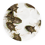 promip manejo integrado pragas controle biologico serviços insecta bolinha 4 mobile
