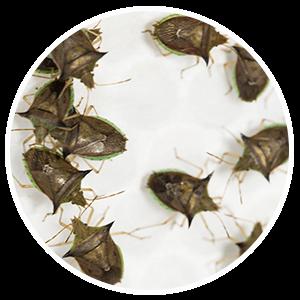 promip manejo integrado pragas controle biologico serviços insecta bolinha 4