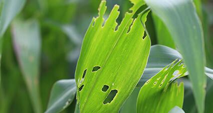 promip manejo integrado pragas controle biologico mip experience artigo Spodoptera frugiperda danos mobile