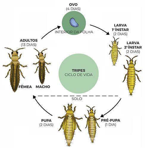 promip manejo integrado pragas controle biologico mip experience artigo tripes ciclo