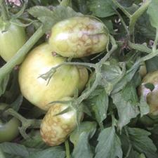 promip manejo integrado pragas controle biologico mip experience artigo tripes danos tomate mobile