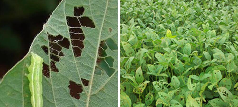 promip manejo integrado pragas controle biologico mip experience artigo lagarta falsa medideira danos soja