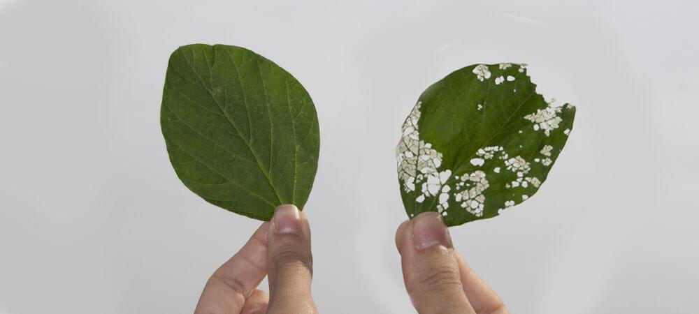 promip manejo integrado pragas controle biologico mip experience artigo lagarta falsa medideira danos