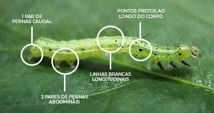 promip manejo integrado pragas controle biologico mip experience artigo lagarta falsa medideira identificacao campo mobile
