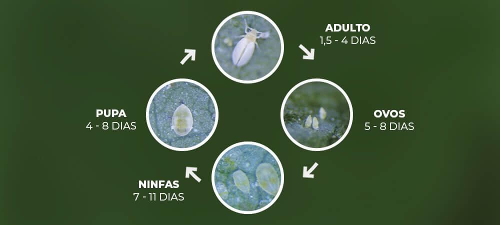 promip manejo integrado pragas controle biologico mip experience artigo mosca branca ciclo