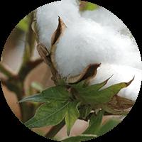 promip manejo integrado pragas controle biologico mip experience artigo mosca branca cultura algodao