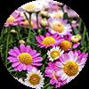 promip manejo integrado pragas controle biologico mip experience artigo mosca branca cultura crisantemo mobile