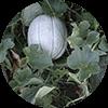 promip manejo integrado pragas controle biologico mip experience artigo mosca branca cultura melao mobile