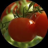promip manejo integrado pragas controle biologico mip experience artigo mosca branca cultura tomate