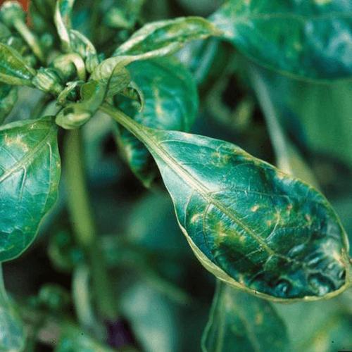 promip manejo integrado pragas controle biologico mip experience artigo mosca branca doenca pimentão
