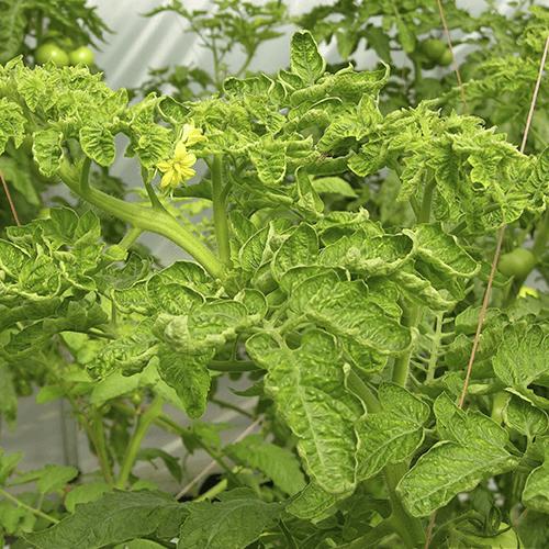 promip manejo integrado pragas controle biologico mip experience artigo mosca branca doenca tomateiro