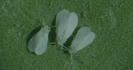 promip manejo integrado pragas controle biologico mip experience artigo mosca branca header mobile