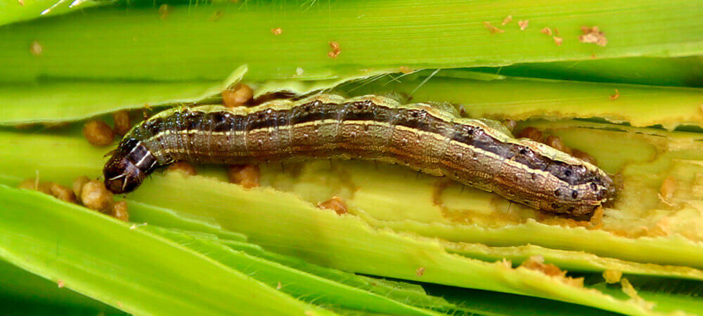 promip manejo integrado pragas controle biologico mip experience spodoptera frugiperda lagarta adulto