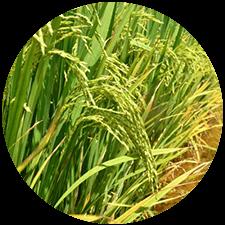 promip manejo integrado pragas controle biologico mip experience spodoptera frugiperda plantacao arroz mobile