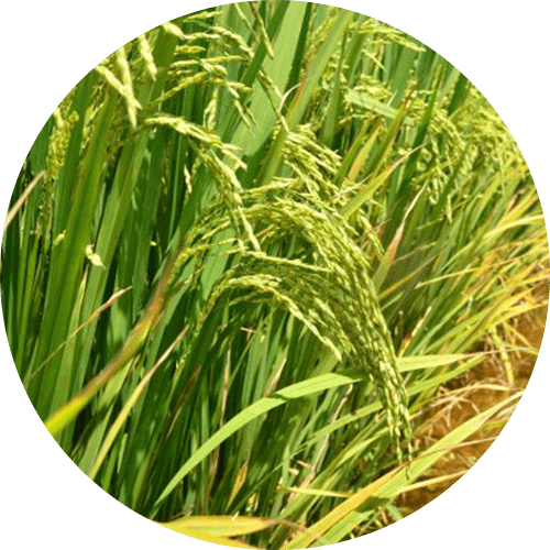 promip manejo integrado pragas controle biologico mip experience spodoptera frugiperda plantacao arroz