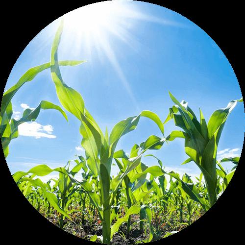 promip manejo integrado pragas controle biologico mip experience spodoptera frugiperda plantacao milho