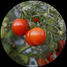 promip manejo integrado pragas controle biologico mip experience spodoptera frugiperda plantacao tomate mobile
