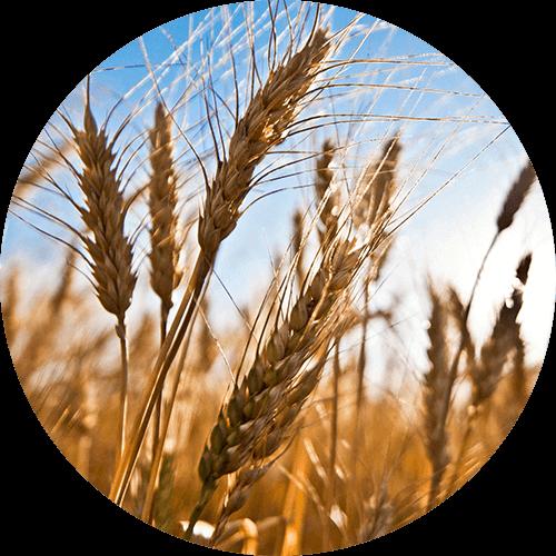 promip manejo integrado pragas controle biologico mip experience spodoptera frugiperda plantacao trigo