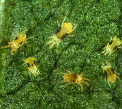 promip manejo integrado de pragas acaro rajado tetranychus urticiae