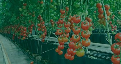 promip manejo integrado pragas controle biologico mip experience artigo contribuicao mip cultura tomate header mobile