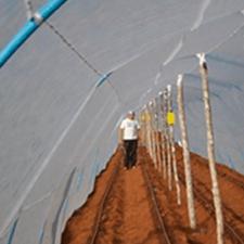 promip manejo integrado de pragas controle biologico em batata armadilhas amarelas 01 mobile