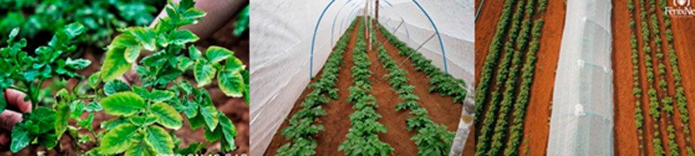promip manejo integrado de pragas controle biologico em batata producao semente_
