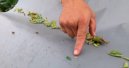 promip manejo integrado pragas controle biologico mip experience percevejo soja danos mobile