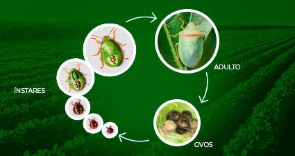 Promip manejo integrado pragas controle biologico mip experience piezodorus guildinii ciclo mobile 02