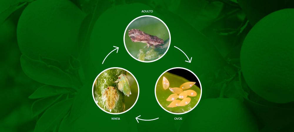 promip manejo integrado pragas controle biologico mip experience psilideo citros ciclo final
