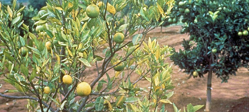 promip manejo integrado pragas controle biologico mip experience psilideo citros danos atualizacao