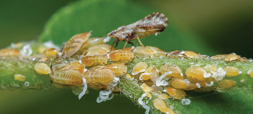 promip manejo integrado pragas controle biologico mip experience psilideo citros manejo greening