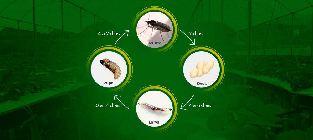 promip manejo integrado pragas controle biologico mip experience fungus gnats morango ciclo final 2