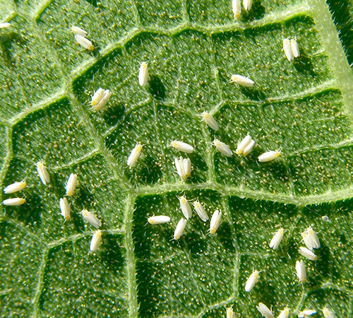promip manejo integrado pragas controle biologico mip experience manejo integrado pragas inicio cultura tomate mosca branca 1