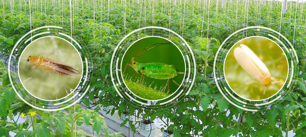 promip manejo integrado pragas controle biologico mip experience manejo integrado pragas inicio cultura tomate pragas iniciais