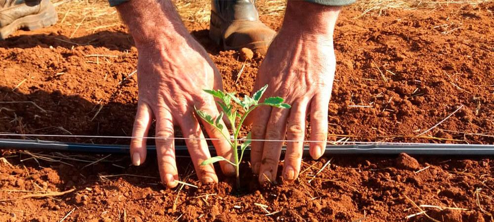 promip manejo integrado pragas controle biologico mip experience manejo integrado pragas inicio cultura tomate transplantio