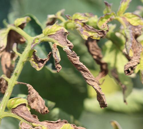 promip manejo integrado pragas controle biologico mip experience manejo integrado pragas inicio cultura tomate tripes danos 2