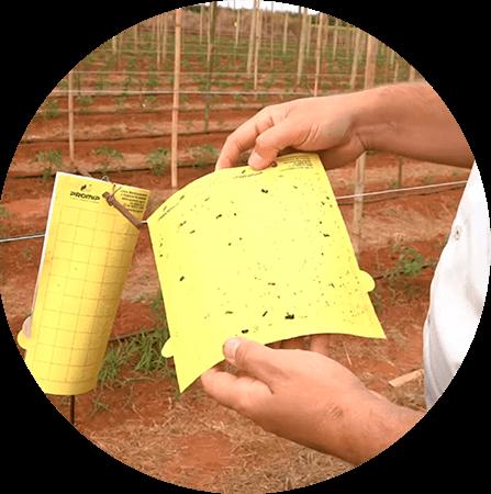 promip manejo integrado pragas controle biologico mip experience monitoramento pragas doenças tomate armadilha amarela