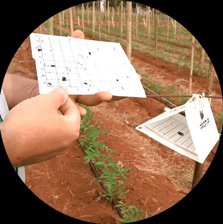 promip manejo integrado pragas controle biologico mip experience monitoramento pragas doenças tomate armadilha feromonio