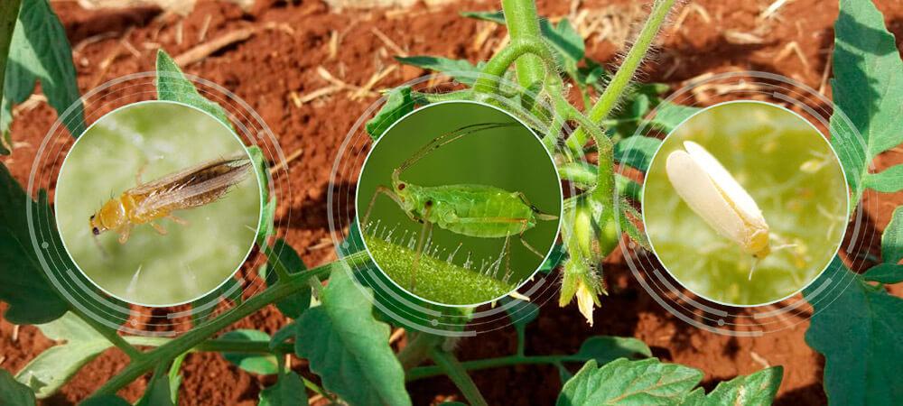 promip manejo integrado pragas controle biologico mip experience monitoramento pragas doenças tomate pragas