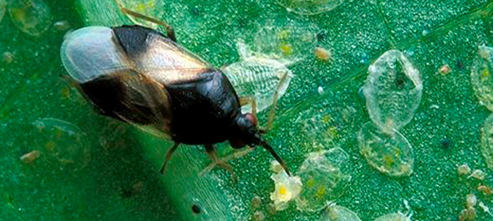 promip manejo integrado pragas controle biologico mip experience monitoramento pragas entendendo bioprodutos parte 1 organismos bons garfo