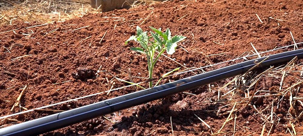 promip manejo integrado pragas controle biologico mip experience monitoramento pragas tombamento tomate irrigação controlada