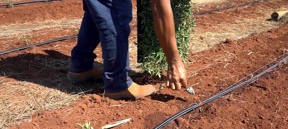 promip manejo integrado pragas controle biologico mip experience monitoramento pragas tombamento tomate plantando