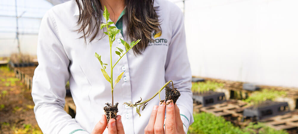 promip manejo integrado pragas controle biologico mip experience monitoramento pragas tombamento tomate sintomas